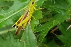 Sumpfschrecke-Maennchen